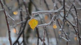 Björksidor är täckt is efter regn i vinter lager videofilmer
