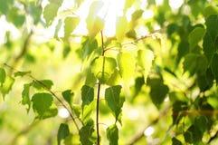 Björksidor i solen, morgon på gryning Arkivfoto