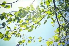 Björksidor som är ljusa - gröna färger arkivfoton