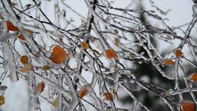 Björksidor täckas med is efter regn i vinter lager videofilmer
