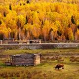 björksilver Fotografering för Bildbyråer