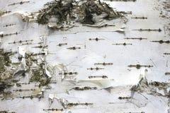 Björkskäll med härlig textur för svartvit bakgrund royaltyfria bilder