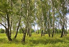 björkskog Arkivfoton