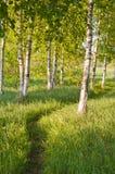 björkskog Royaltyfria Foton