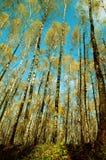 björkskog Arkivbild