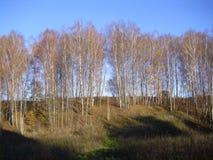 Björkskog i höst härlig blå sky den höstliga dagen låter vara melankolisk yellow arkivfoton