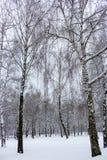 Björkskog i snö Frysning- och snöbakgrund Vinterväderbegrepp arkivbild