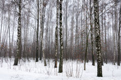Björkskog i snövinter Royaltyfri Bild