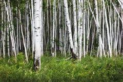 Björkskog med grönt gräs Vit- och gräsplannatur härligt Royaltyfria Foton