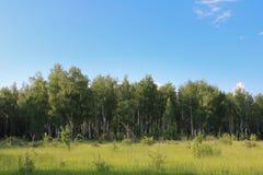 Björkskog mot den blåa himlen med vita moln och gröna ängar med låga buskar som lokaliseras i förgrunden royaltyfria bilder