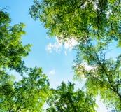 Björkskog på en solig dag Gröna trän i sommar Arkivfoton
