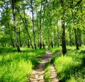 Björkskog på en solig dag Gröna trän i sommar Arkivfoto