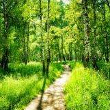 Björkskog på en solig dag Gröna trän i sommar Arkivbild