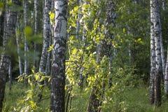 Björkskog på en solig sommardag Arkivfoton
