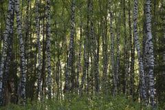 Björkskogen fjädrar in Arkivbilder