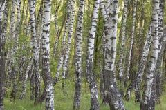 Björkskogen fjädrar in Royaltyfri Fotografi