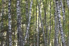 Björkskogen fjädrar in Royaltyfria Foton
