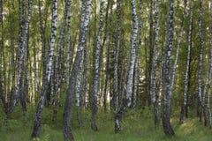 Björkskogen fjädrar in Fotografering för Bildbyråer