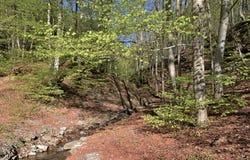 Björkskogen i Casentinoen parkerar berg Italien royaltyfri bild