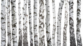 Björkstammar som isoleras på vit