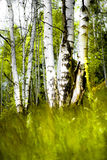 björkträ Arkivfoto