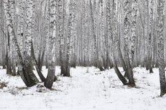 Björkträ. bakgrund Arkivbilder