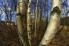 Björkträd Arkivbild