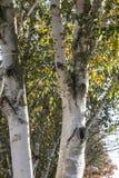 Björkträd (Betula) i hösten, lägre Sachsen, Tyskland Arkivfoto