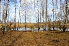 Björkträd fjädrar in skogen är värda i vatten Arkivfoton