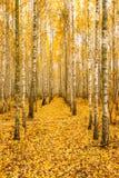 Björkträd i Autumn Woods Forest Yellow Foliage Rysk skog Royaltyfria Foton