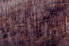 Björkträd i bergen Arkivfoton
