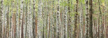 Björkträd i den tidiga hösten, nedgångpanorama Arkivfoto
