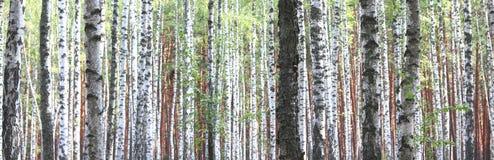 Björkträd i den tidiga hösten, nedgångpanorama Royaltyfri Foto