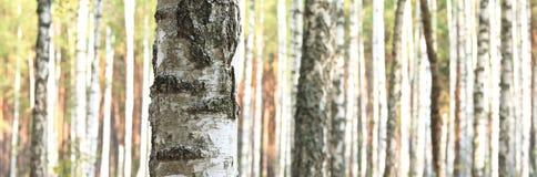 Björkträd i den tidiga hösten, nedgångpanorama Arkivbild