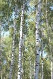 Björkträd i den tidiga hösten, nedgångpanorama Fotografering för Bildbyråer
