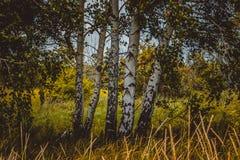 Björkträd i fältet royaltyfri foto