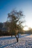 Björkträd i förkylning för soluppgång för solnedgång för vinterlandskapsnö vit Royaltyfri Bild