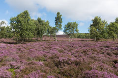 Björkträd i ljungen arkivbild