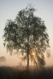 Björkträd i morgonsoluppgångmisten Fotografering för Bildbyråer