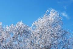 Björkträd i rimfrost Arkivfoto
