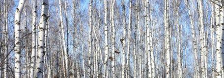 Björkträd i skog royaltyfri foto