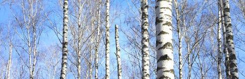 Björkträd i skog arkivbilder