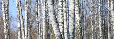 Björkträd i skog royaltyfri fotografi