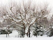 Björkträd i snö Fotografering för Bildbyråer