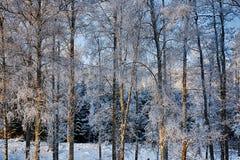 Björkträd i vinter, frosy och iskallt Arkivfoton