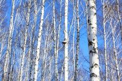 Björkträd med det vita skället Arkivbilder