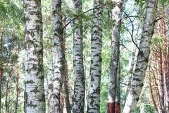 Björkträd med det vita skället Arkivfoto