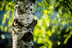 Björkträd och bokeh Arkivbild