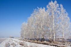 Björkträd och vägen Arkivbilder