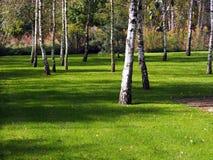 Björkträd på gräsmattan i trädgården Royaltyfria Bilder